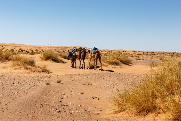 Пустыня сахара, караван верблюдов в песчаных дюнах, марокко