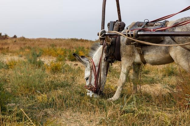 Белый осел ест траву на лугу, ослиная голова