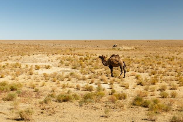 フタコブラクダ、カザフスタンの草原のラクダ