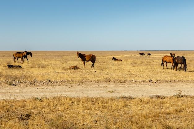 カザフスタンの草原の馬の群れ、馬は牧草地で乾いた草を食べる