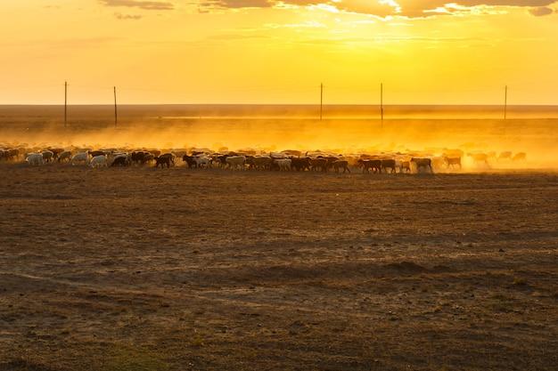 カザフスタンの草原に帰る羊の群れ、日没の草原にある羊の群れ