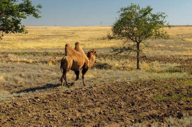 フタコブラクダ、ラクダはアクトベ州カザフスタンの緑の木に行く