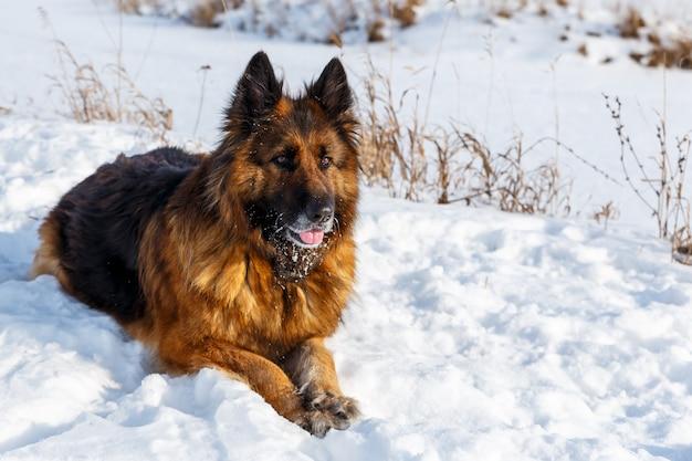 ジャーマン・シェパード犬は雪の中にあり、慎重に楽しみにしています