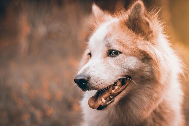 Красивая собака на фоне природы. портрет сибирской хаски.