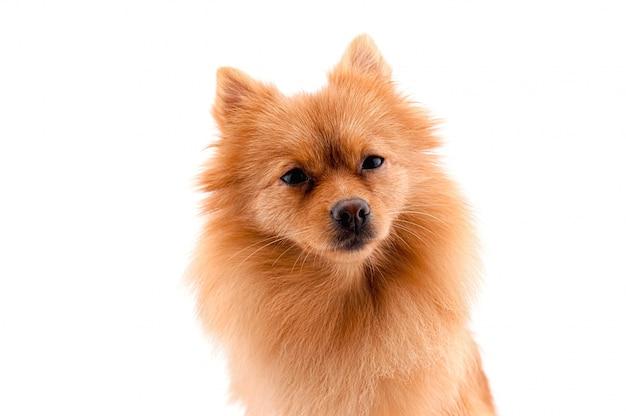 座っているポメラニアン犬