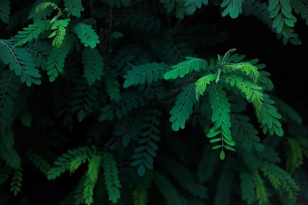 アカシアの緑の葉