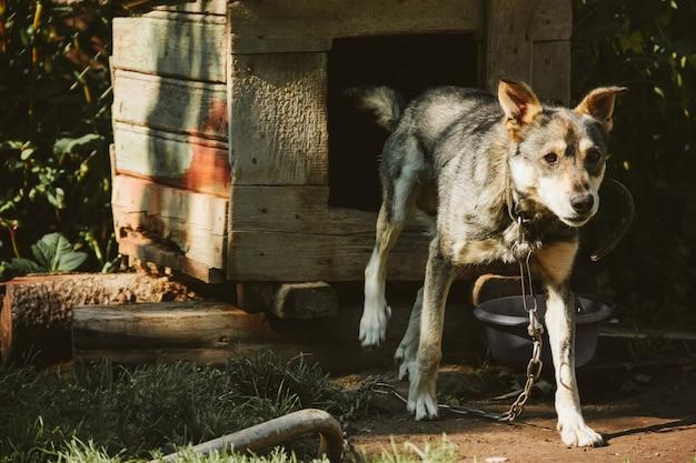 チェーン付きブースの犬。
