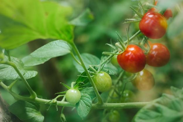 枝に新鮮な熟した赤いトマトは、ガラスの後ろの温室で育ちます