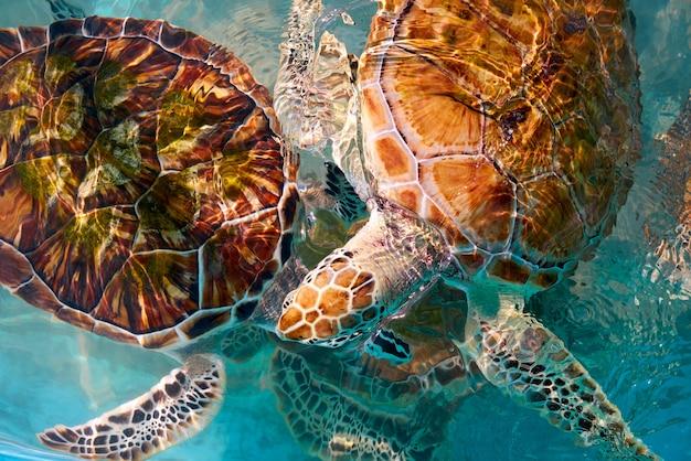 カリブ海の水中のカメの写真量
