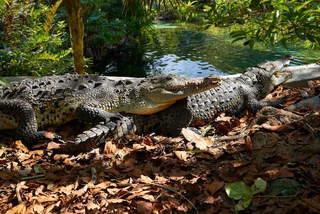 Фото крокодил мексика ривьера майя
