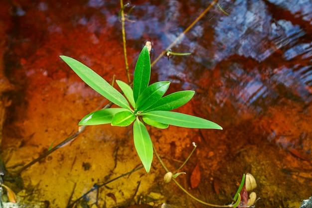 メキシコのリビエラマヤのマングローブの葉