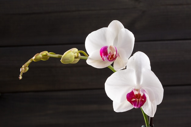 クローズアップホワイトランファレノプシス品種ハイブリッド花