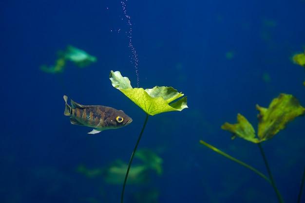 Рыба майя цихлид в сеноте воронка мексика