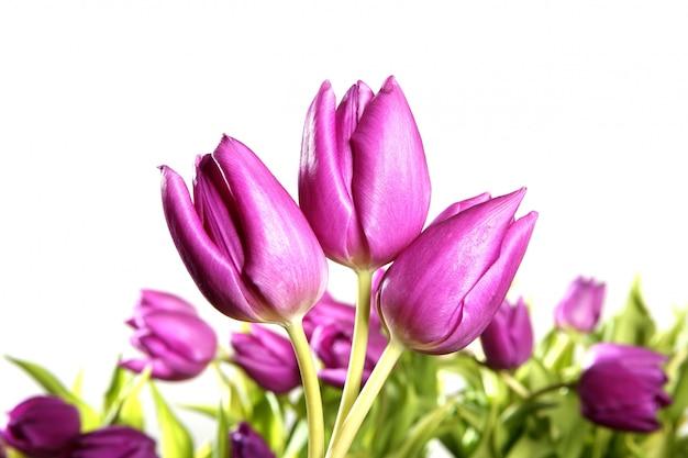 チューリップピンクの花の白い背景で隔離