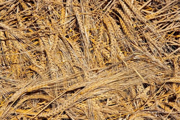 穀物小麦スパイクパターン背景