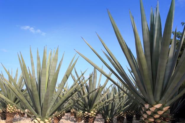 メキシコのテキーラ酒のアガベテキーラナ植物