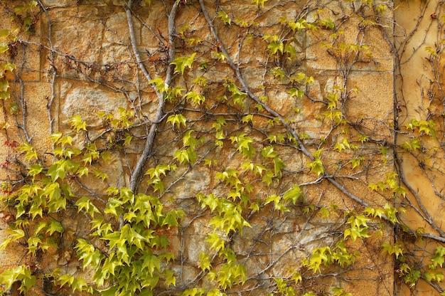 Осеннее вьющееся растение стены текстура фон