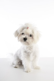 マルチフォン子犬ビションマルタ白