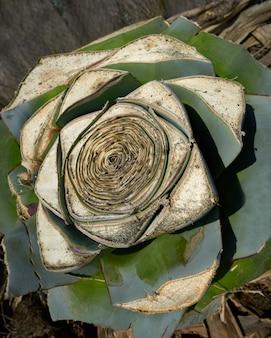 アガベピテラカット地中海のコアから植物