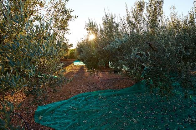 地中海でネットでオリーブ収穫狩り