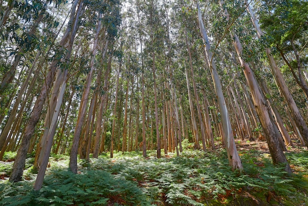 スペイン、ガリシアのユーカリの森