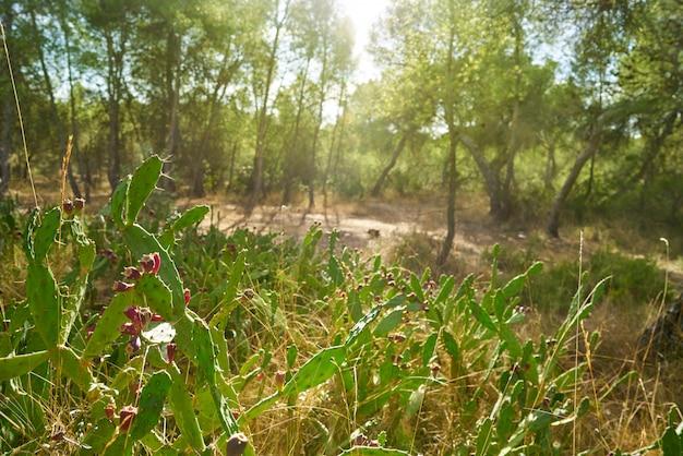 地中海のノパル植物の野生のウチワサボテン