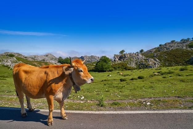 アストゥリアスのピコス・デ・エウロパスペインの道路上の牛