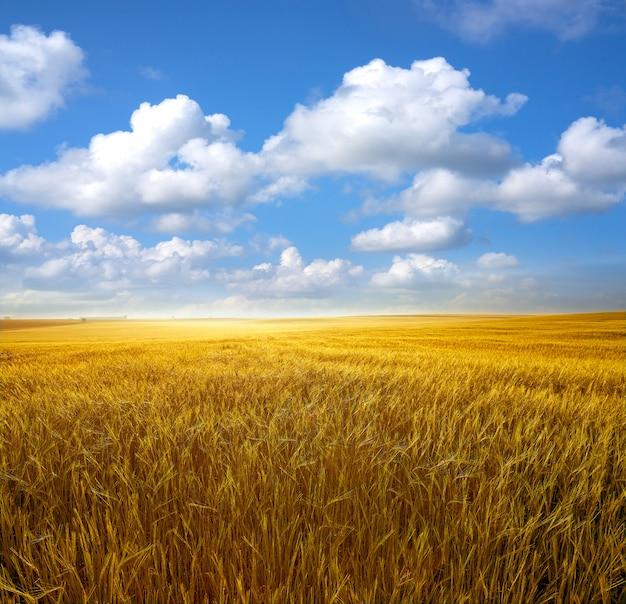 青い空の下の黄金の穀物畑