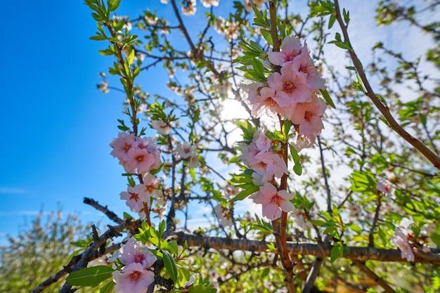 Миндальные деревья цветут в средиземноморье