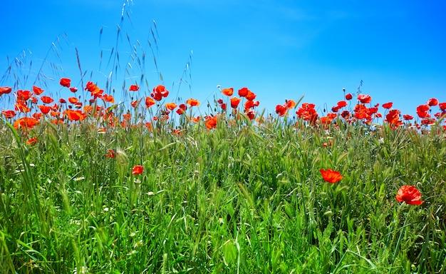 春の牧草地のポピーカミノデサンティアゴ