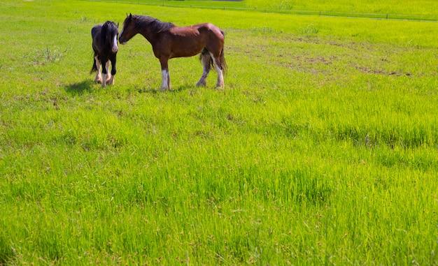 緑の黄色い春の牧草地の馬