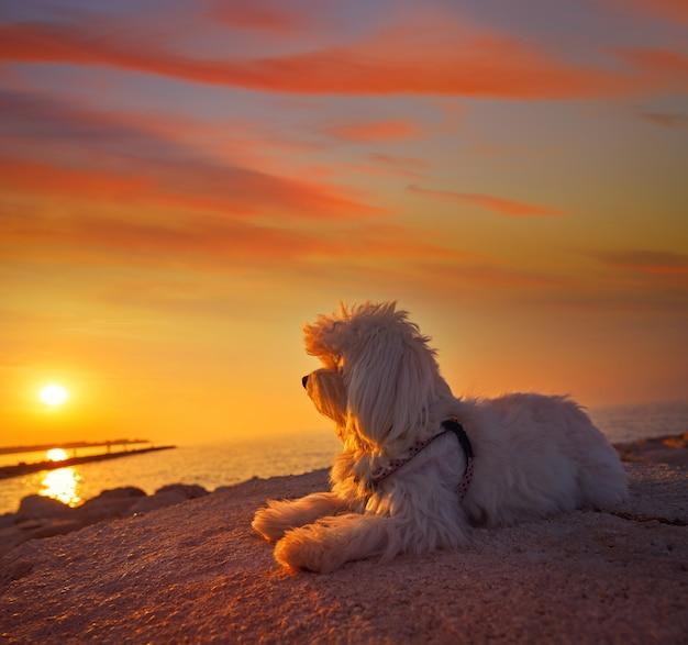 ビーチの夕日を見ているマルチチョンペット犬