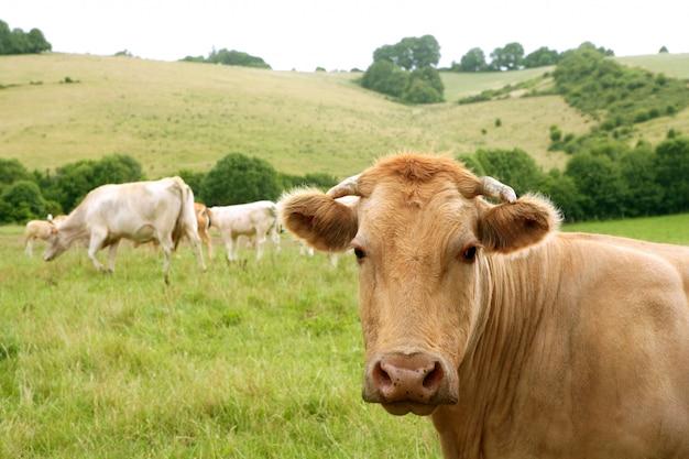 Корова бежевого скота ест на зеленом лугу