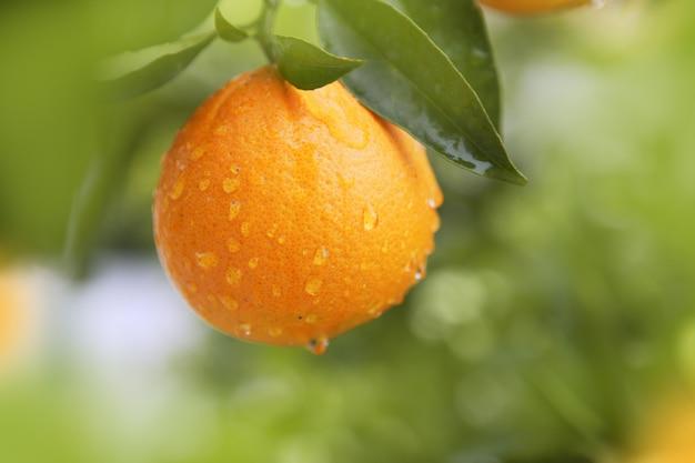 オレンジ色の果物ぶら下げ木新鮮な水滴