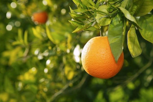 スペインの収穫前にオレンジ色の果物の木