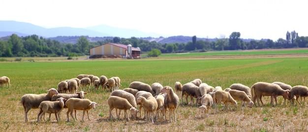 牧草地で放牧草原の群れ