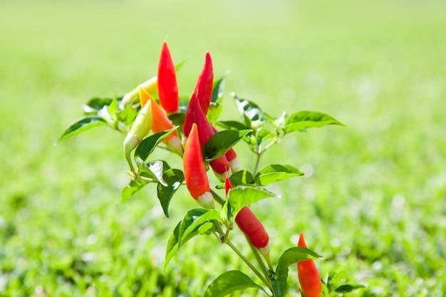 赤とオレンジ色の唐辛子唐辛子植物