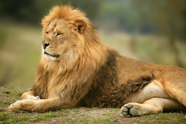 Красивый лев дикий мужской портрет животных