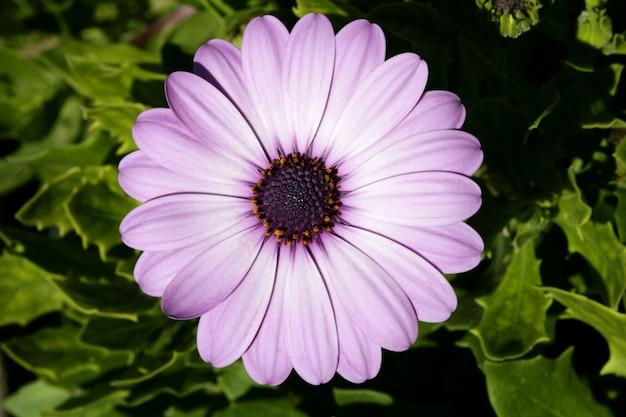 Фиолетовый розовый цветок ромашки, зеленые листья, на открытом воздухе