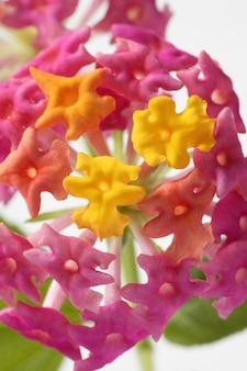 Лантана маленький цветок