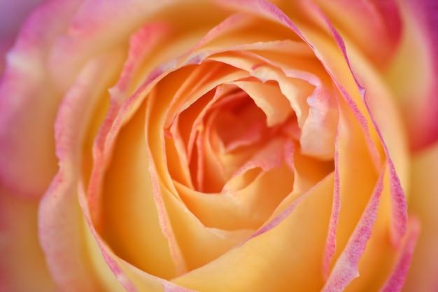 柔らかな光の中でオレンジ色のバラの花マクロの詳細