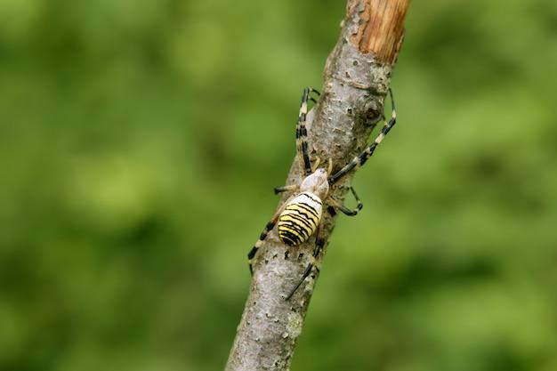 木の黒と黄色の縞模様のクモ