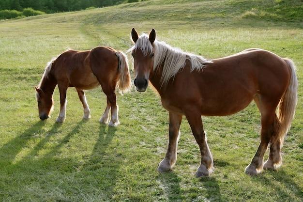 緑の牧草地の馬の風景