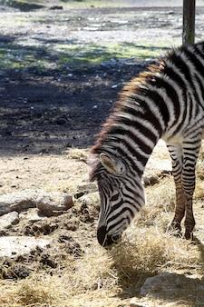 Зебра ест профиль шеи и головы