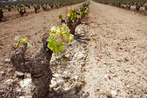 スペインの行フィールドでぶどう畑の最初の春もやし