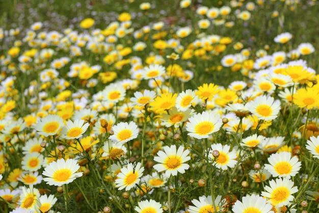 デイジーイエローの花緑の自然の牧草地