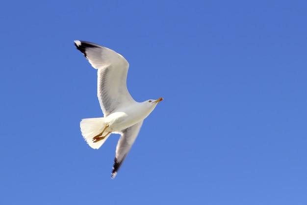 下から青い空を飛んでいる白いカモメ