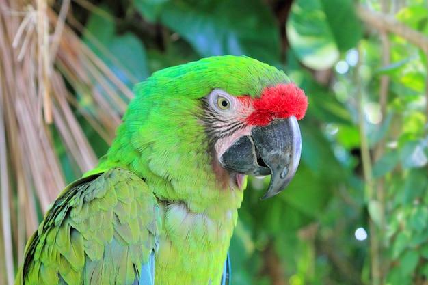 Ара милитарис военный ара зеленый попугай