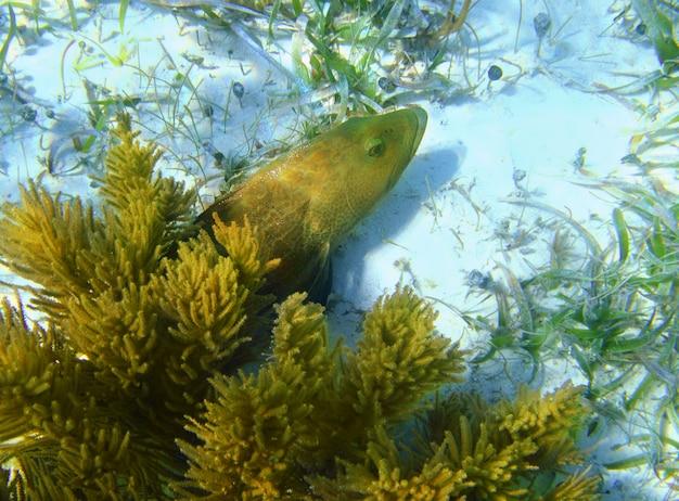 砂の底にカリブハタの魚