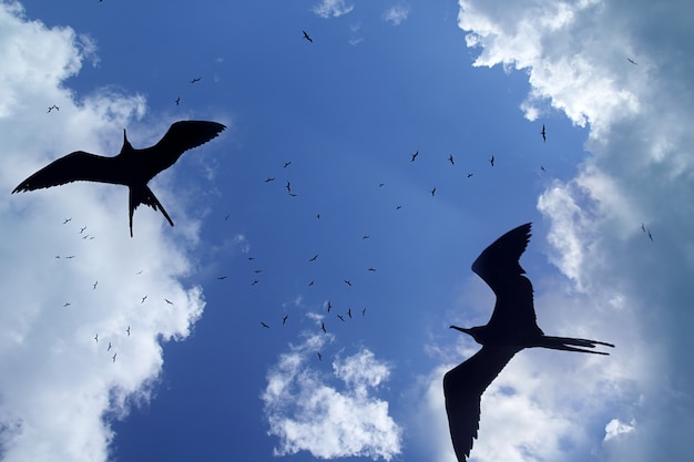 フリゲート鳥シルエットバックライト繁殖期